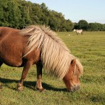 New_Forest_Pony_From_Side_Hair_IMG_3394